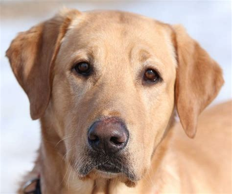golden retriever rescue wyoming 188 best images about adopt a fur kid on calico cats cats and adoption