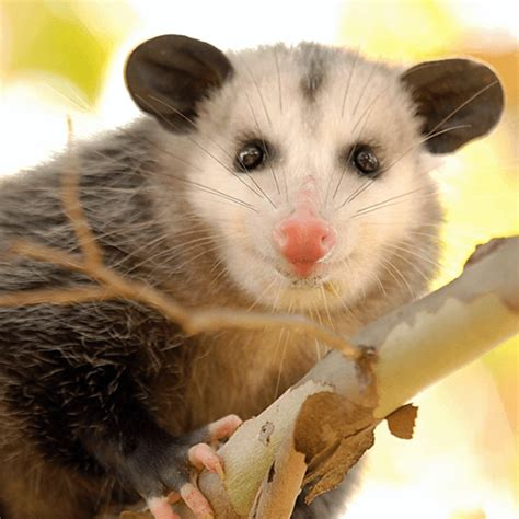 how to get rid of possums in your backyard how to get rid of opossums how to get rid of stuff