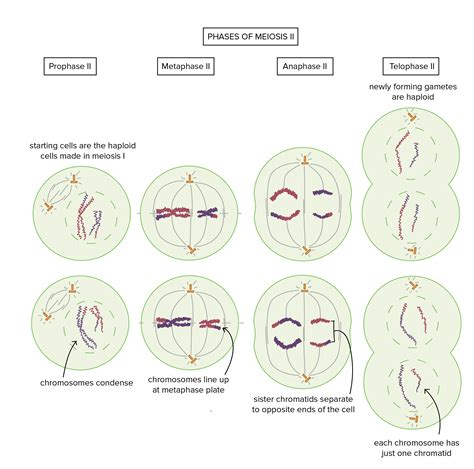 Meiosis Prophase 1 – Course Pics Meiosis Stages