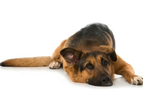 what causes bloat in dogs gastric dilatation volvulus all german shepherds