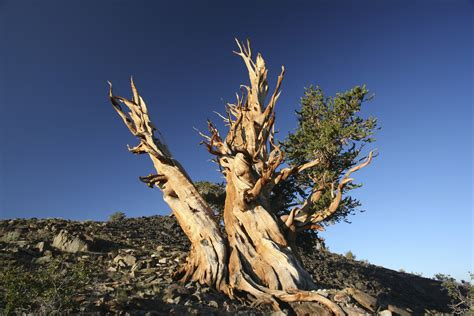 oldest living the bristlecone pine the oldest living things on earth