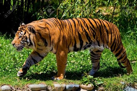 google images tiger tiger walking google search felidae pinterest
