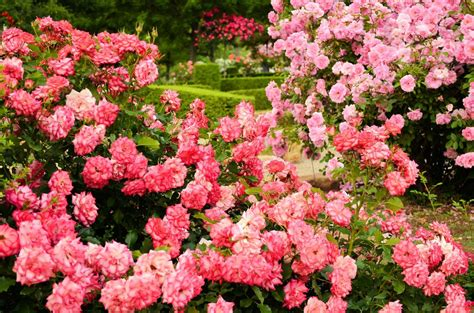 rose garden tips how to grow roses