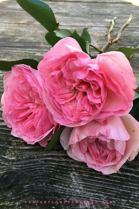 premium garden rose maria theresia