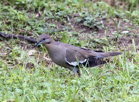 what do white winged doves eat the best dove 2017