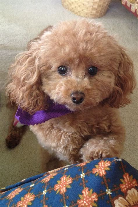 french puddle hair cut 1000 ideas about toy poodles on pinterest poodles