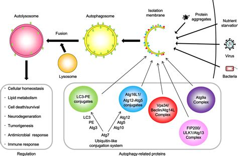 pattern recognition receptors and autophagy regulation of innate immune responses by autophagy related