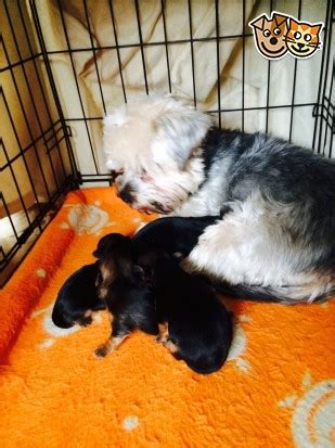 small yorkies for sale uk small yorkie pups for sale nuneaton warwickshire pets4homes
