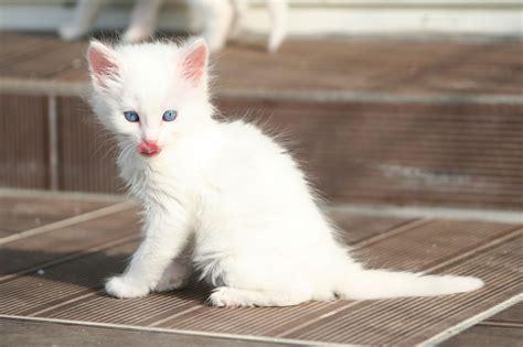 fotos de gatos gatos angora gemelos jpg pictures to pin on pinterest angor 225 turco ra 231 a de gato angor 225 turco caracter 237 sticas