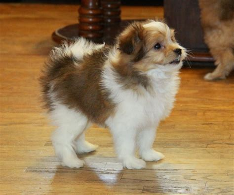 pomeranian ontario peek black and white pomeranian poodle puppies for sale dogs for sale in ontario