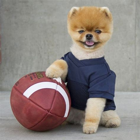 pomeranian jiffpom 1000 ideas about boo on dogs dogs and pomeranian dogs