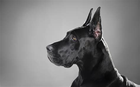 great dane great dane wallpapers pictures images