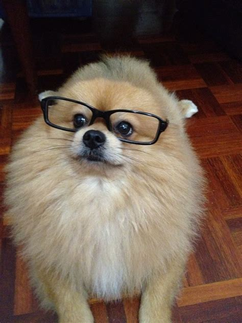 my pomeranian 317 best images about i pomeranians on real wolves and puppys