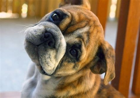 confused puppy adorable adroable animal animals confused image 50722 on favim