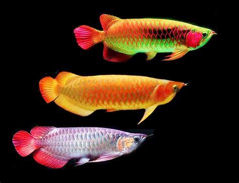 Harga Bibit Ikan Arwana Golden 15 harga ikan arwana terbaru kualitas unggulan cocok