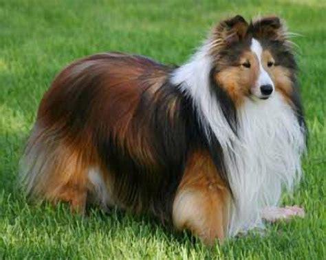 shetland sheepdog sheltie spaniel mix dog breeds picture