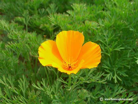 orange california poppy flower picture