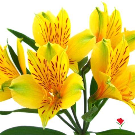 alstroemeria colors 1000 images about alstromerias amarillas on