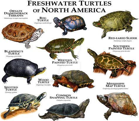 freshwater turtles of north america by rogerdhall on deviantart