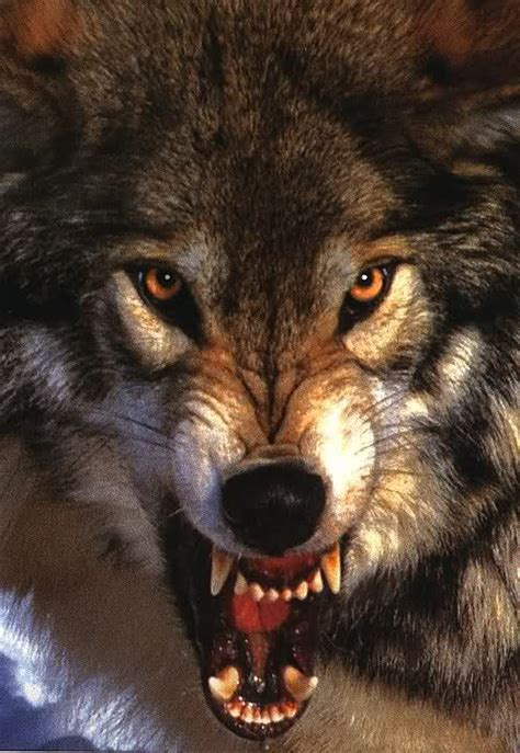 snarling wolf tattoo 25 best ideas about wolf growling on angry