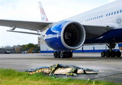 Resume For Hotel Jobs by Alligator Spotted As British Airways Orlando Flight