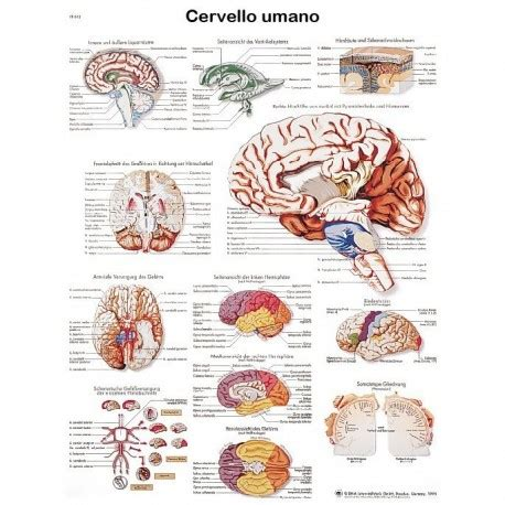 tavola anatomica tavola anatomica poster il cervello umano doctorplanet
