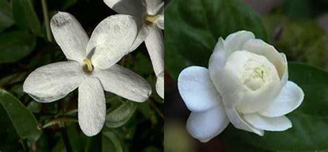 fiore bianco molto profumato p di profumato fiori e piante profumati per vasi
