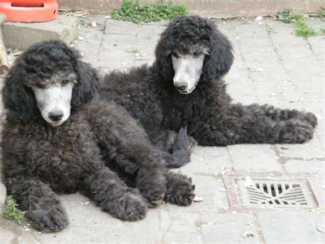 silver standard poodle puppies for sale silver standard poodles spalding lincolnshire pets4homes