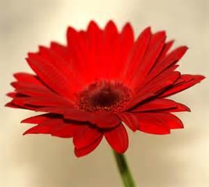 Red Gerbera Daisy Red Gerbera The Secret Garden