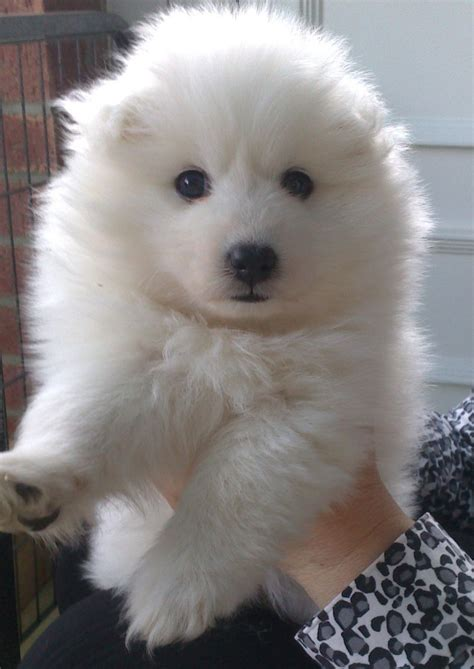 spitz puppies for sale japanese spitz puppies for sale wisbech cambridgeshire pets4homes