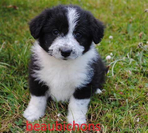 miniature collie border collie cross free to a loving home quotes