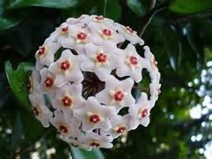 fiore di porcellana fiore di porcellana hoya carnosa hoya carnosa piante