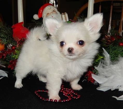 chihuahua puppies for sale in indiana 1000 ideas about coat chihuahua on chihuahuas haired chihuahua