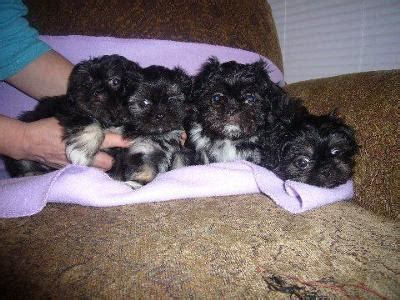 shih tzu pekingese poodle mix tiny teacup shih tzu breeds picture