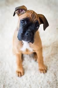 boxer puppies az pin by katherine arbona on boxer dogs