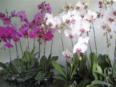 Pot Anggrek Bulan cara menanam bunga anggrek tanamanbaru