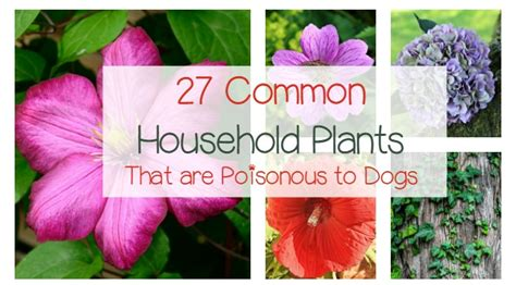 what plants are poisonous to dogs 27 poisonous plants for dogs the common dangers dogvills