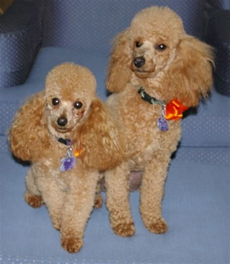 pictures of poodle haircuts poodles with new haircut poodle grooming pinterest
