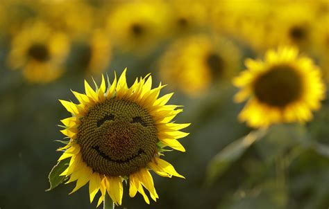 Sunflower Field photos of the week 9 3 9 9 the atlantic