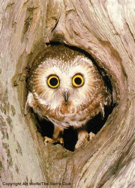 most owls live in tree holes image result for http