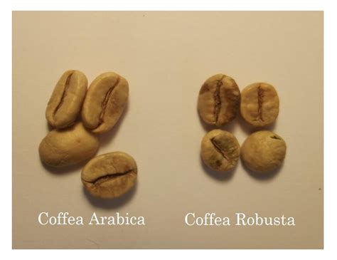 Coffee Robusta how to identify great espresso coffee beans