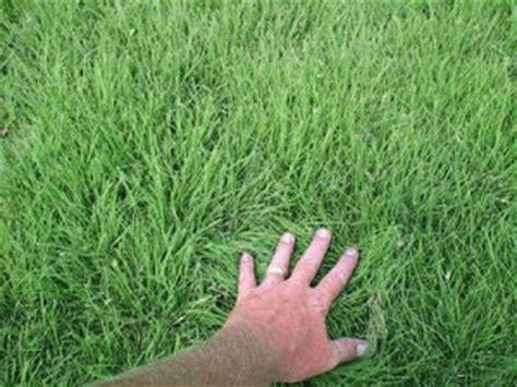 couch grass seeds for sale couch grass seeds for sale cooyar grass seeds the online