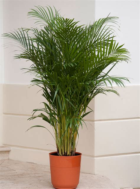 elegant palms   setting costa farms