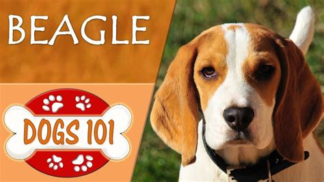 dogs 101 beagle dogs 101 beagle top facts about the beagle