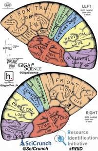Brain Hat Template by 25 Best Ideas About Brain Anatomy On Brain