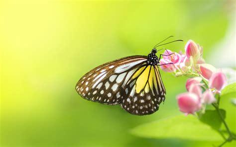 imagenes de mariposas blancas volando una mariposa en una flor hd 1920x1200 imagenes