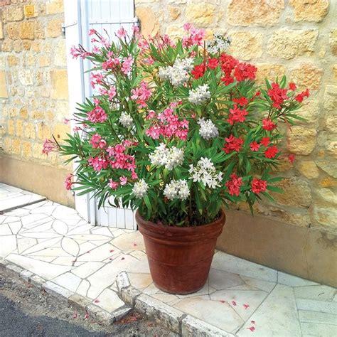 fiori di oleandro oleandro in vaso piante da terrazzo coltivare l
