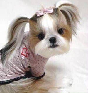shorkie dog different hair styles penteados cadelinhas shihtzu racas org