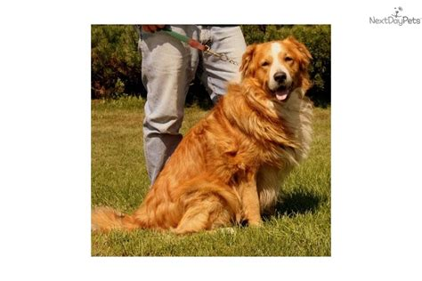 old fashioned dog grooming pictures for sale english shepherd for sale for 495 near albany new york