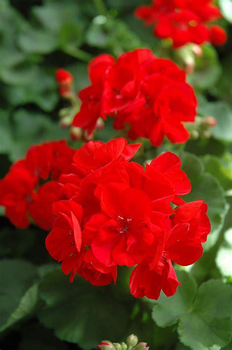 patriot bright red geranium pelargonium patriot bright